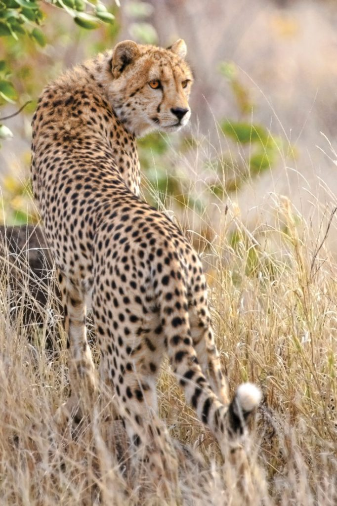 A cheetah spotted while on safari in South Africa