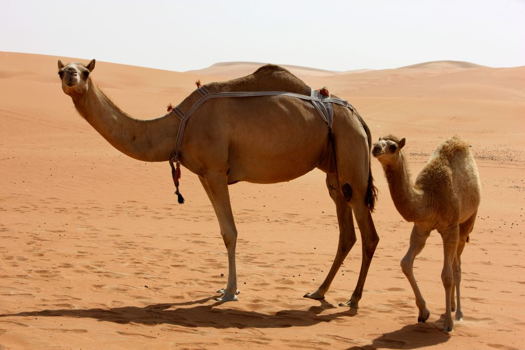 Camel and baby camel in Rub al Khali desert, Abu Dhabi, UAE.